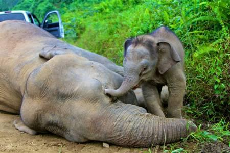 Elephanteau-mere-Borneo