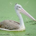 Beautiful waterbird, Spot-billed Pelican ( Pelecanus phillippensis), side profile