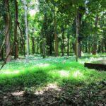 """Lettre de Shila : """"Nilambur, la plus ancienne plantation de teck du monde"""""""