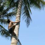 """Lettre de Shila : """"Pénurie de travailleurs pour grimper dans les cocotiers"""""""