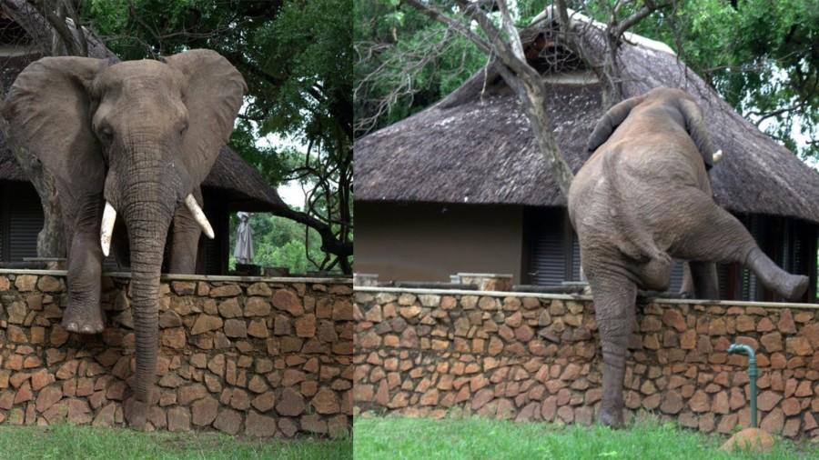 elephant climbing defens wall